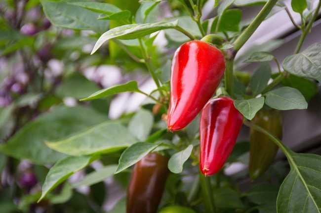 Чем подкормить перец для роста и хорошего урожая