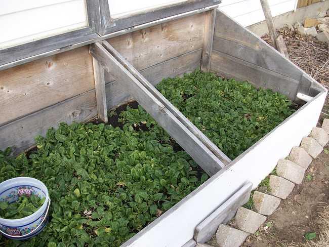 Где лучше растет шпинат