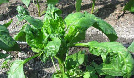Как бороться с тлей на шпинате