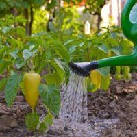 Какой водой и как часто нужно поливать перцы