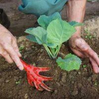 Окучивание капусты: как и когда это делать