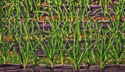 Когда собирать урожай лука-порея