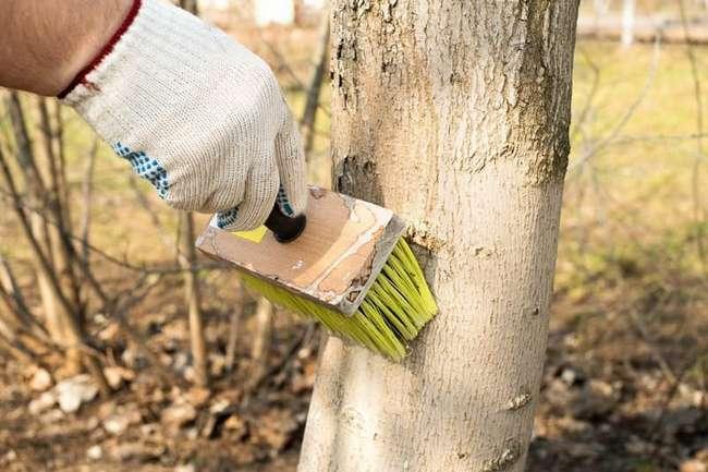 Побелка деревьев доломитовой мукой