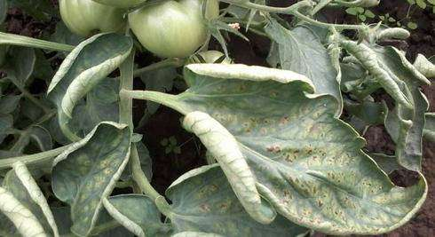 Признаки переизбытка калия у растений