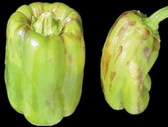 Признаки заболевания стрик на плодах перца