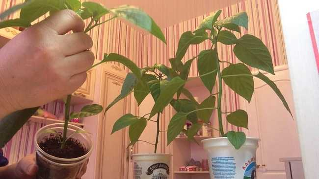 Стимулирование цветения и плодоношения у перца