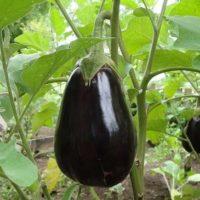 Как вырастить баклажаны в открытом грунте