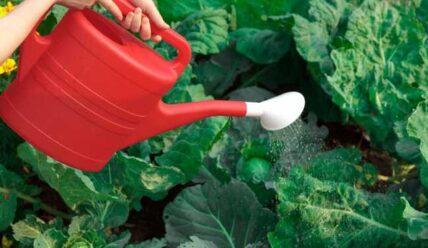 Подкормка капусты борной кислотой, польза удобрения, признаки нехватки бора