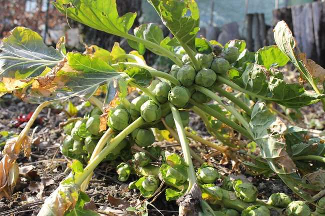 Чем подкормить брюссельскую капусту