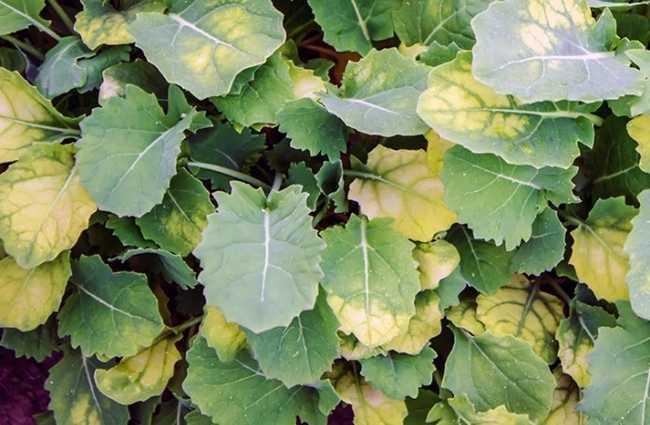 Чем подкормить капусту если листья бледные