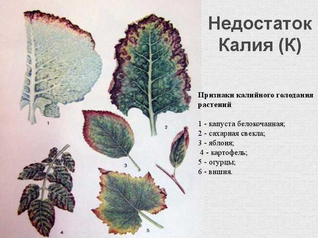 Децицит калия на листьях садовых культур