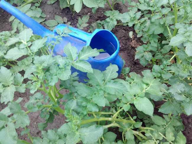 Как часто поливать картофель