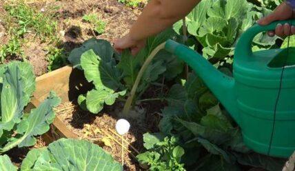 Как подкармливать капусту в открытом грунте