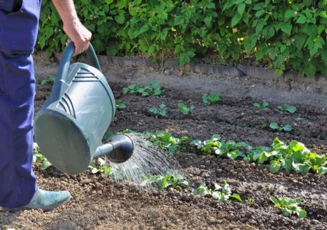 Когда и как часто поливать капусту