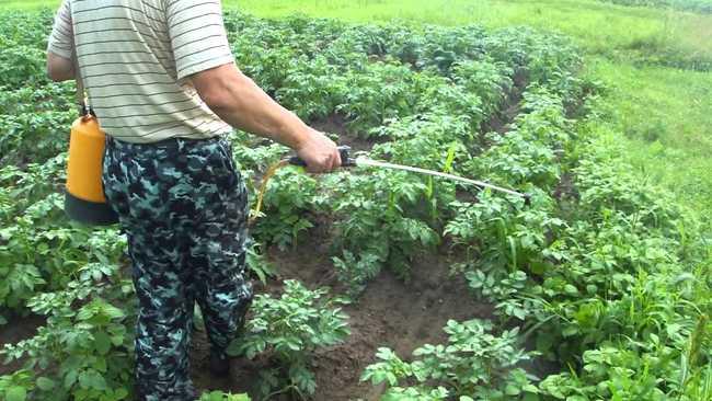 Когда опрыскивать картофель