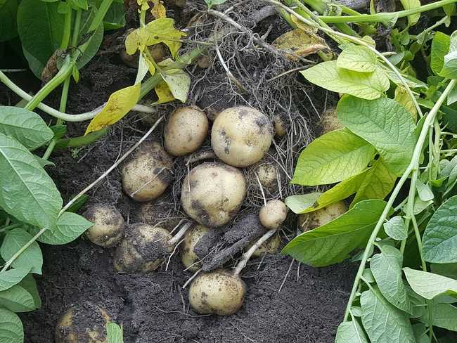 Надо ли поливать картошку
