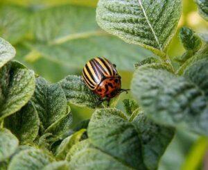 Чем опрыскать картофель от колорадского жука