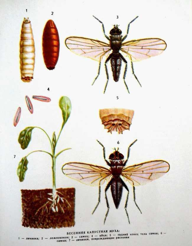 Поражение капусты личинками капустной мухи