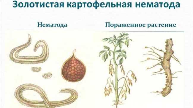 Признаки поражения картофеля нематодой