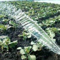 Нужно ли часто поливать капусту и какая вода подойдет для полива