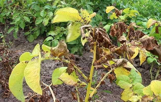 Почему листья картофеля картофеля желтеют в августе