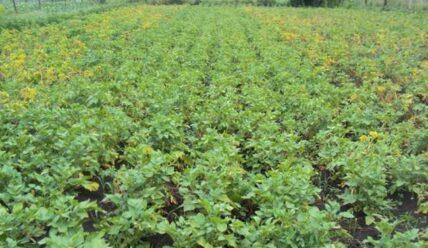 Почему листья картофеля желтеют