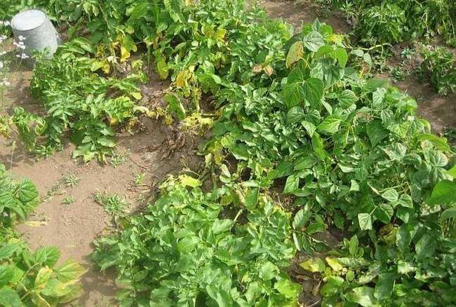 Почему листья картофеля желтеют в июне