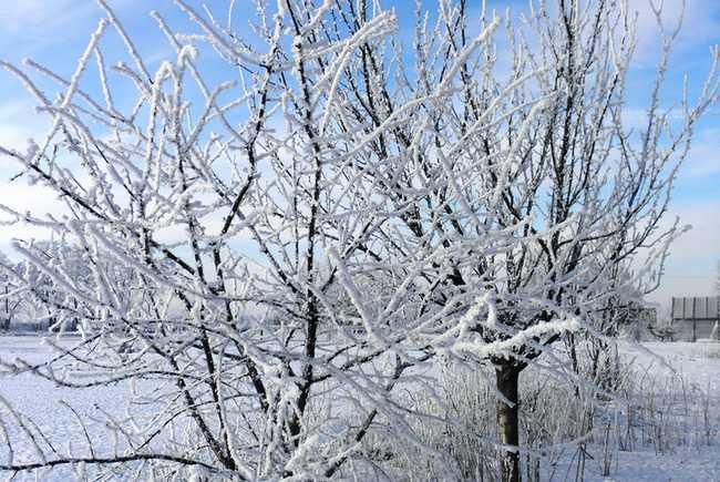 Подготовка сливы к зиме