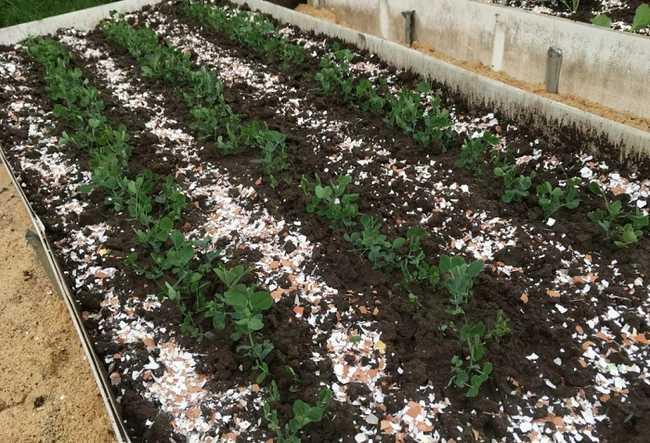 Польза для огорода от яичной скорлупу
