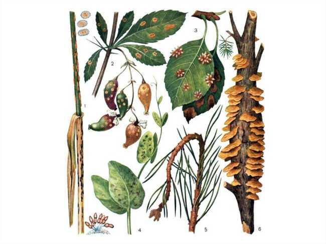 Признаки ржавчины на растениях