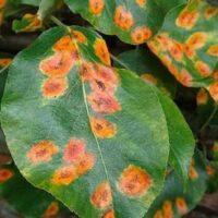 Ржавчина на сливе: причины появления и чем лечить болезнь