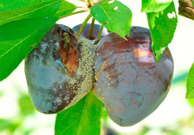 плодовая гниль на сливе