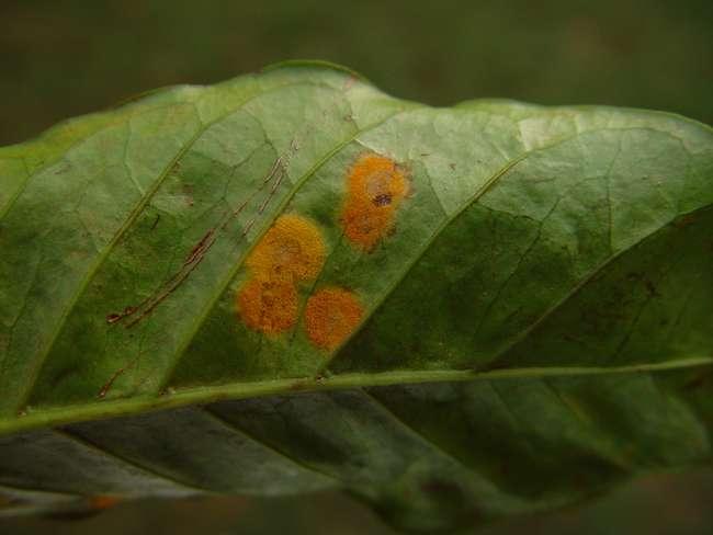 Ржавчина на листьях жимолости