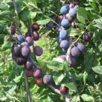Слива богатырская: описание сорта, фото и отзывы садоводов
