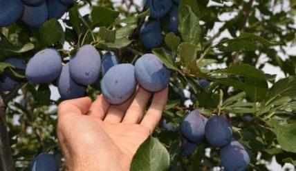 Описание сливы Стенлей, основные характеристики и правила выращивания сорта