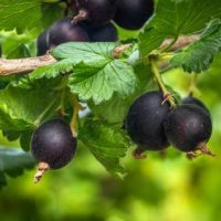 7 популярных сортов черного крыжовника и их особенности
