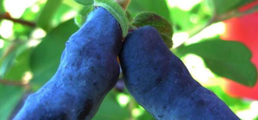 Как вырастить жимолость Бакчарский Великан на садовом участке