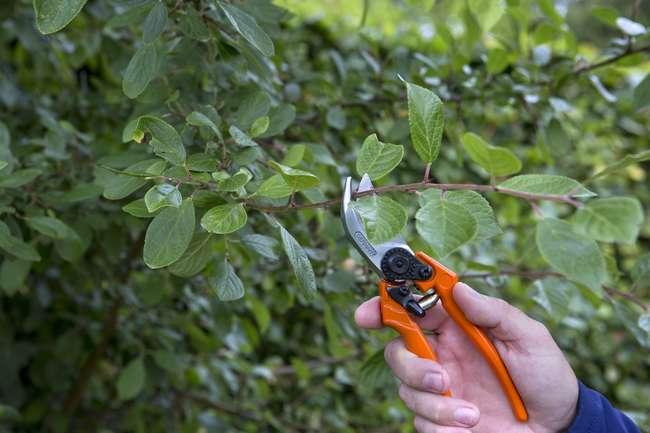 Как правильно обрезать дерево сливы