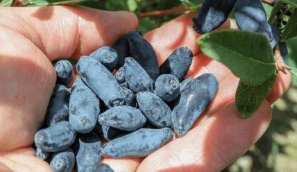 Жимолость Синяя птица: описание сорта, фото, отзывы