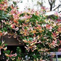 Жимолость декоративная вьющаяся: фото и описание
