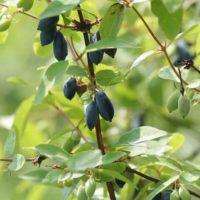 17 сортов жимолости для вашего сада