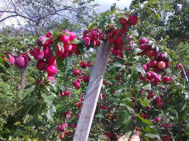 Характеристика и описание сливы сорта Персикова