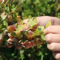 Как узнать спелость крыжовника, сбор и хранение ягод