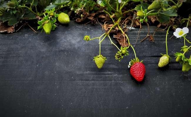 Можно ли сажать после помидор клубнику