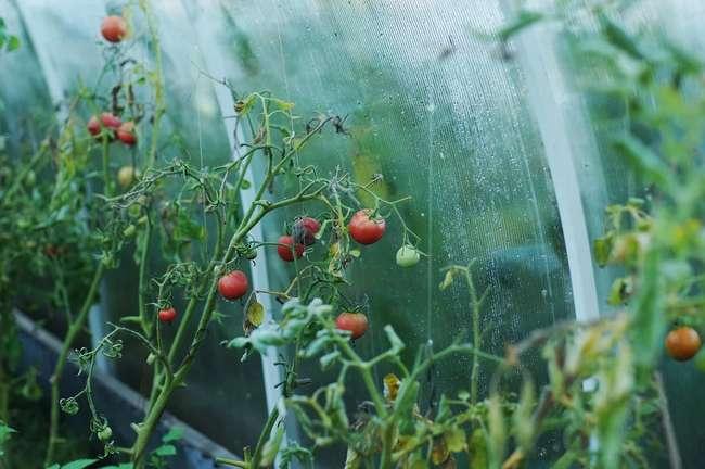 Можно ли сажать после помидор томаты