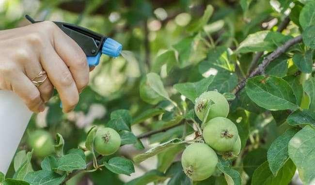 Периодичность обработки яблони