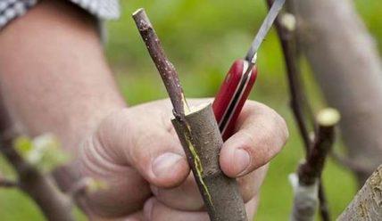 Как привить яблоню в расщеп и как ухаживать за привитой яблоней