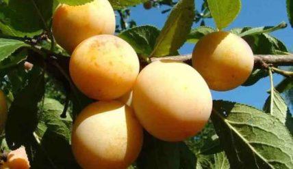 Выращивание сорта сливы Яхонтовая