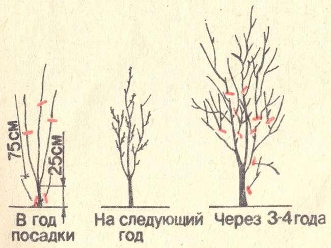 формирование дерева сливы