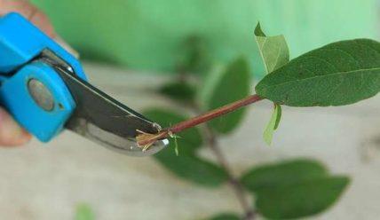 Размножение жимолости черенкованием